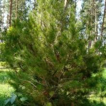Pinus bungeana | habitus