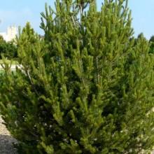 Pinus edulis | habitus