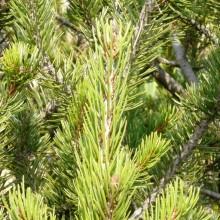 Pinus edulis | větve