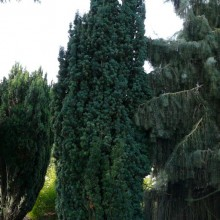 Taxus baccata 'Erecta' | habitus