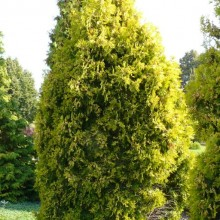 Thuja occidentalis 'Malonyana Aurea'