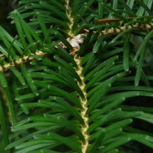 Abies homolepis   jehlice
