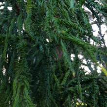 Cryptomeria japonica 'Rasen' | jehlice