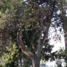 Pinus contorta | habitus