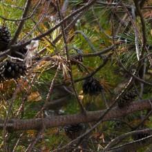 Pinus contorta | větve