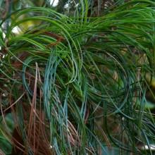 Pinus strobus 'Contorta' | jehlice