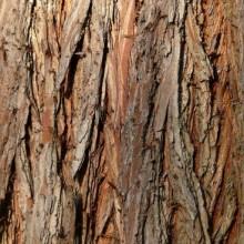 Taxodium distichum | borka