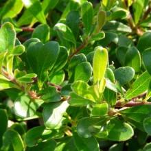 Arctostaphylos uva-ursi 'Vancouver Jade' | list