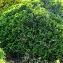 Thuja occidentalis 'Umbraculifera'