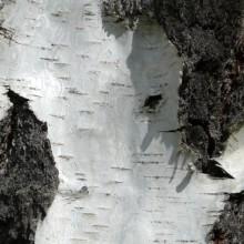 Betula pendula | borka