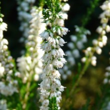 Calluna vulgaris 'Long White' | květ