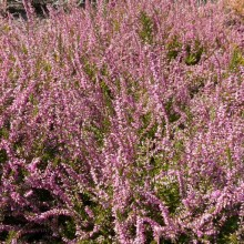 Calluna vulgaris 'Red Bud'