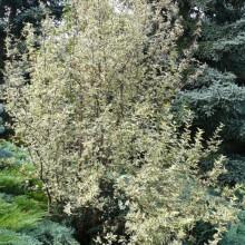 Cornus mas 'Elegantissima' | habitus