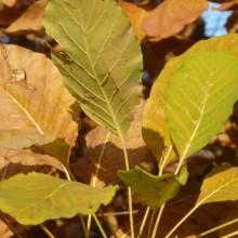 Cotinus coggygria | podzimní list