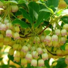 Enkianthus campanulatus | květ