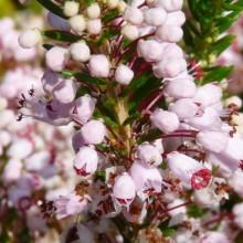 Erica vagans 'Grandiflora' | květ