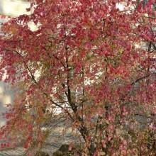 Euonymus verrucosus | habitus