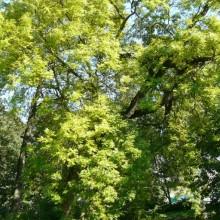 Fraxinus excelsior 'Aurea' | habitus