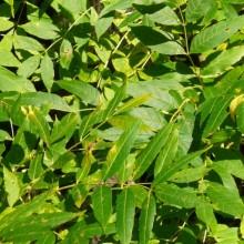 Fraxinus excelsior 'Aurea' | list