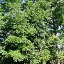 Gymnocladus dioicus | habitus