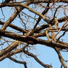 Gymnocladus dioicus | větve