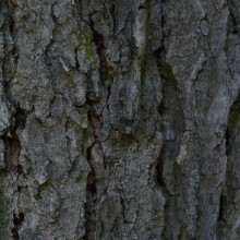 Gymnocladus dioicus | borka