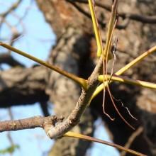 Gymnocladus dioicus | podzimní řapíky