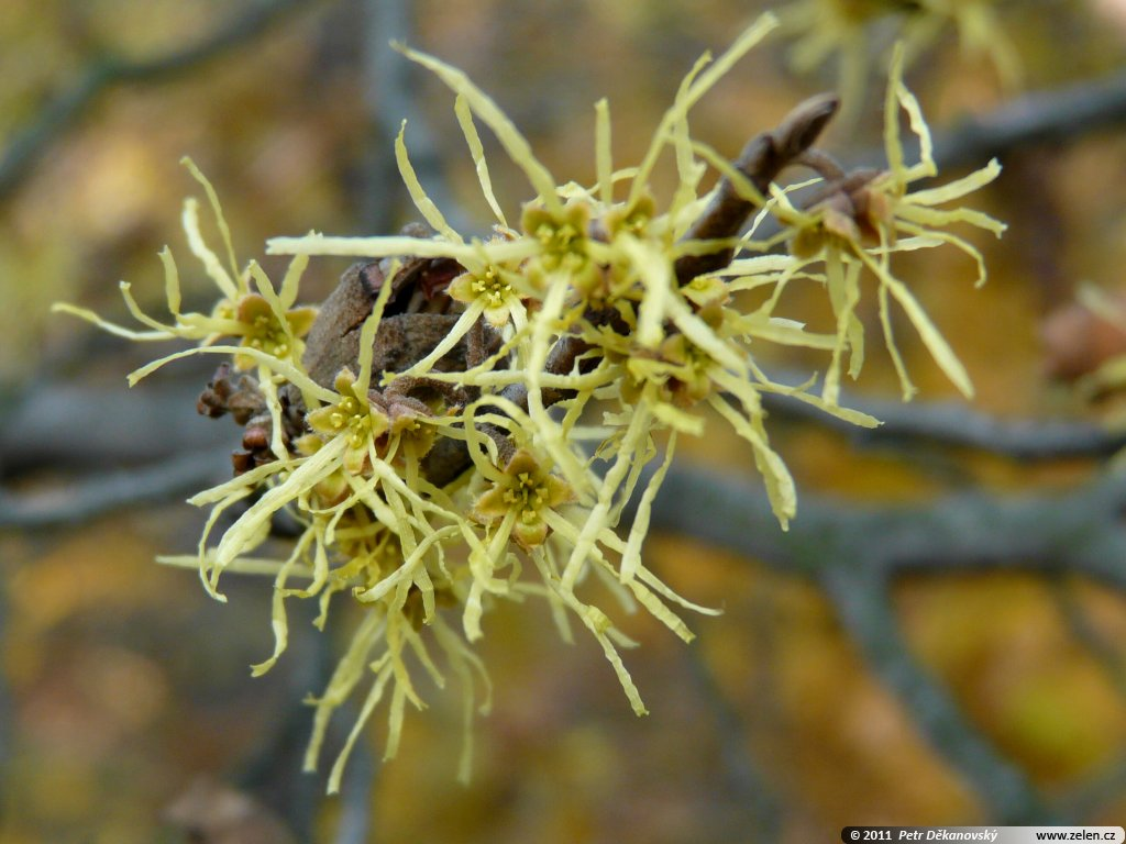 hamamelis virginiana vil n virginsk hamamelis androgyna trilopus dentata. Black Bedroom Furniture Sets. Home Design Ideas