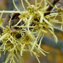 Hamamelis virginiana | květ listopad