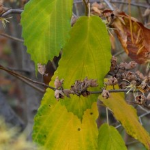 Hamamelis virginiana | podzimní list