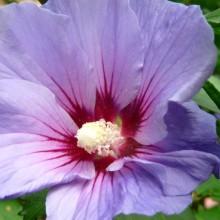 Hibiscus syriacus 'Blue Bird' | květ