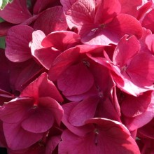 Hydrangea macrophylla 'Merveille Sanguina' | květ