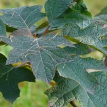 Hydrangea quercifolia | list