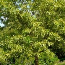 Chitalpa tashkentensis | habitus