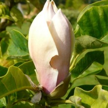 Magnolia acuminata 'Hattie Carthan' | poupě
