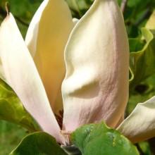 Magnolia acuminata 'Hattie Carthan' | květ