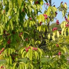Magnolia zenii | habitus