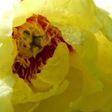 Paeonia suffruticosa 'Hinun' | květ