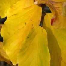 Parrotia persica | podzimní list