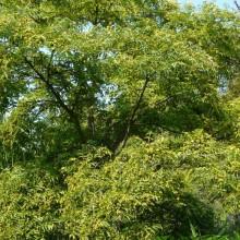 Phellodendron japonicum | habitus