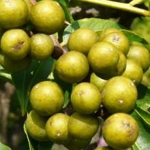 Phellodendron japonicum | plod