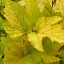 Physocarpus opulifolius 'Aureum' | list
