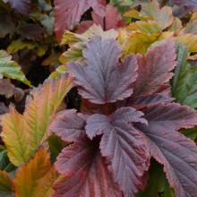 Physocarpus opulifolius 'Zdechovice' | podzimní zbarvení