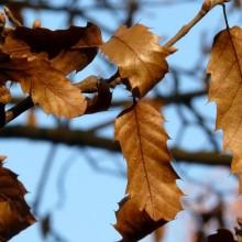 Quercus libani | podzimní list