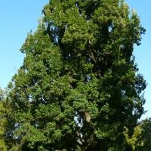 Quercus robur 'Fastigiata' | starý exemplář