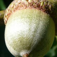Quercus rubra | žalud