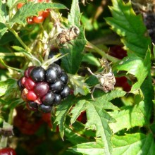 Rubus laciniatus | plod