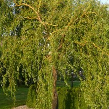 Salix x erythroflexuosa | habitus