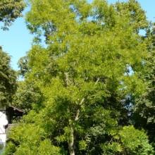Sophora japonica | habitus