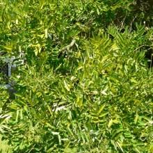 Sophora japonica | list